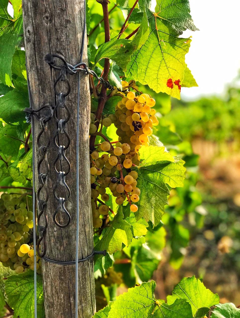 Rheinhessen genießen - Weinlese